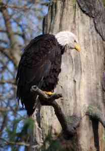Eagle Feeling Defeated